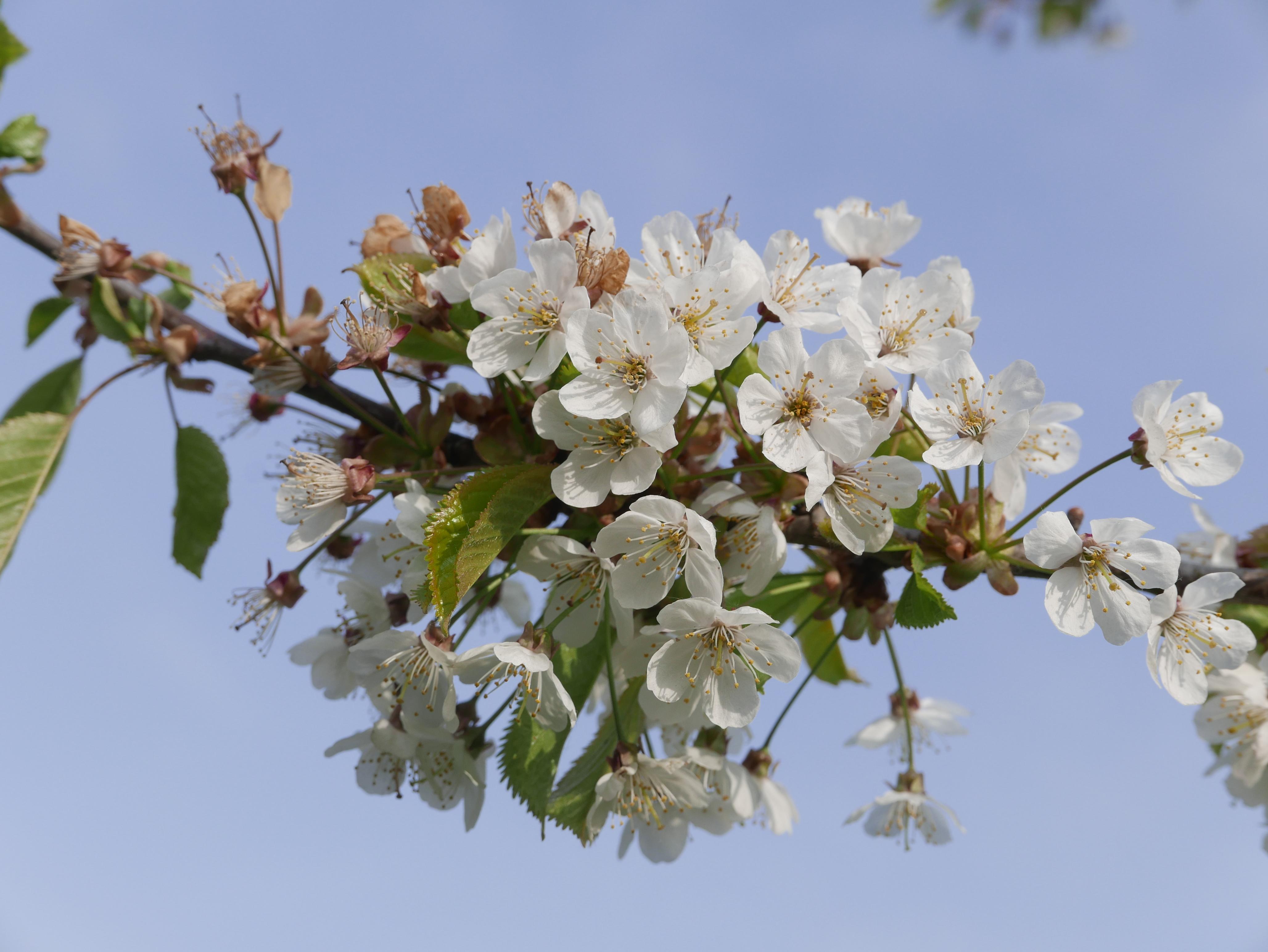 white blossom by Jane Poulton