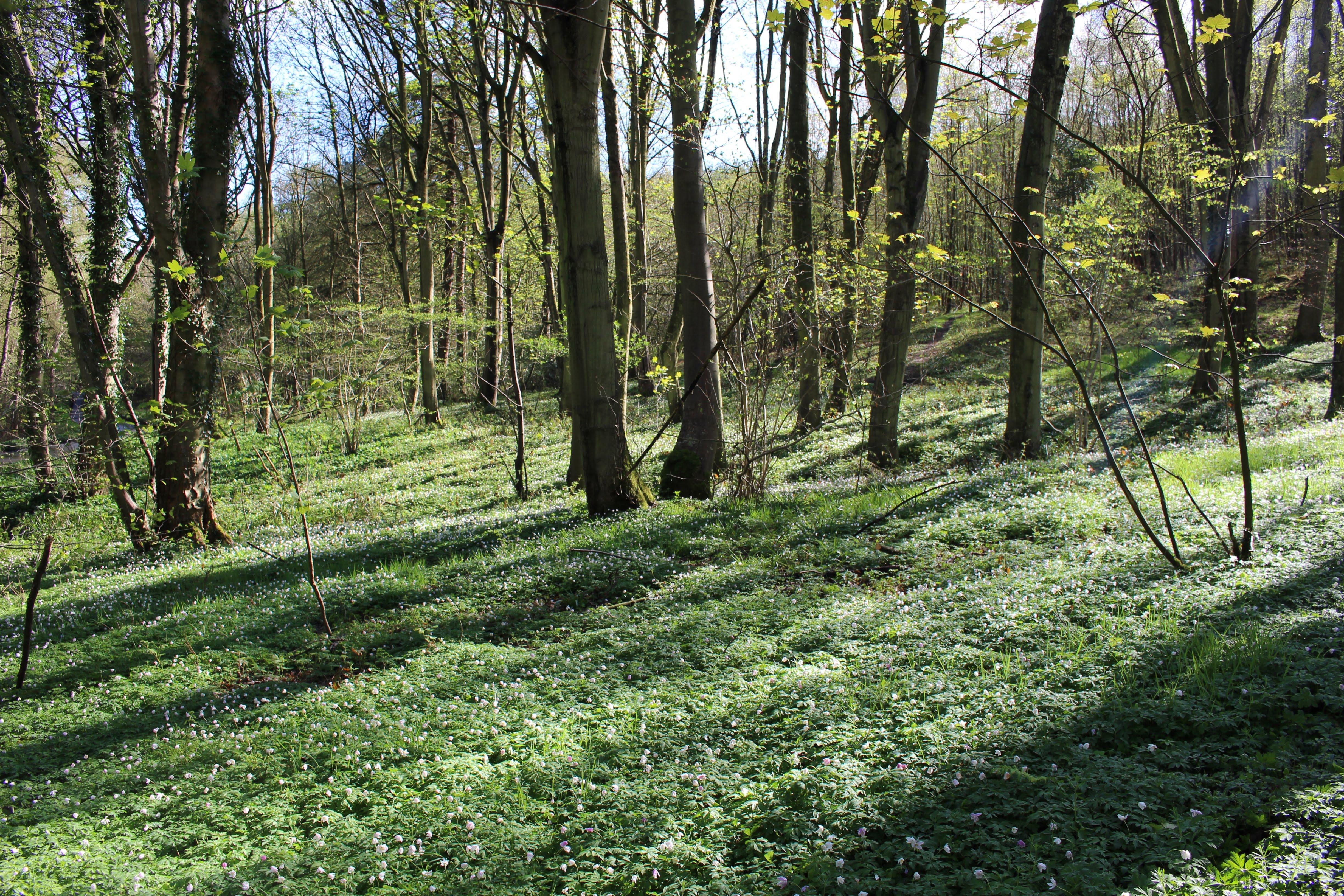 wood anemonies Raincliffe Spring